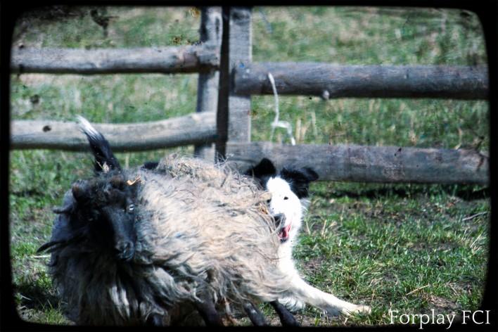 szanta i owca
